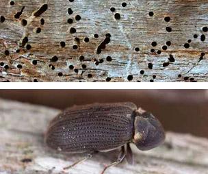 Termitas y carcoma diferencias - Como eliminar la carcoma de la madera ...