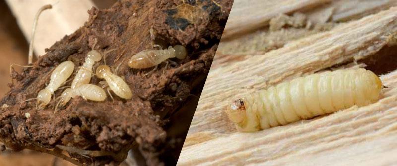 Remedios caseros para eliminar termitas - Como eliminar la polilla de la madera ...