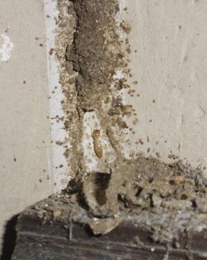 Eliminar termitas subterraneas